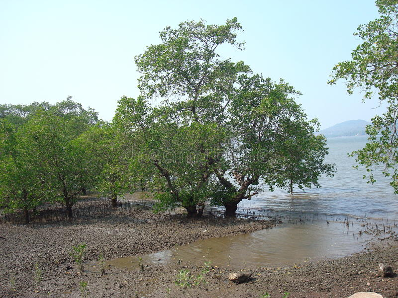 Mangroves in shallow waters. royalty free stock image