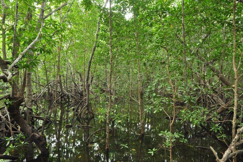 Mangroves in Zanzibar royalty free stock photography