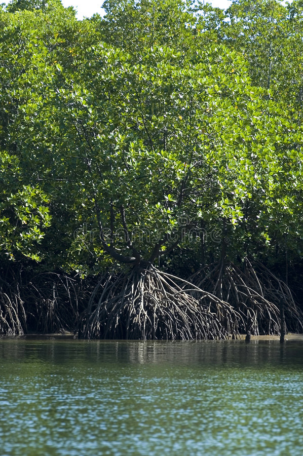 Mangroves2 fotografia de stock royalty free