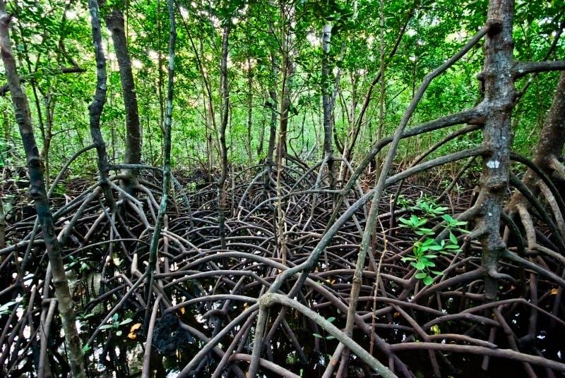 Mangroveskog royaltyfria bilder