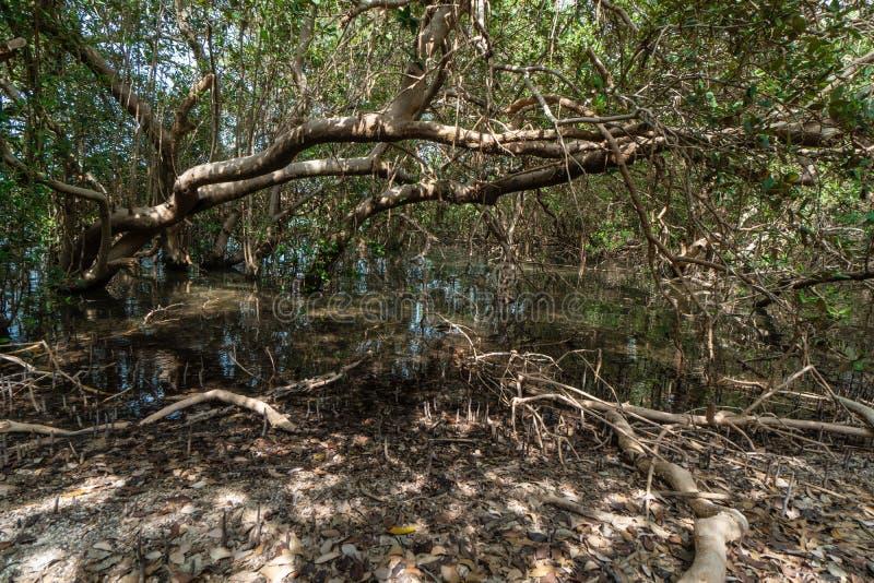 Mangroveskog på den ofördärvade Farasan ön i det Jizan landskapet, Saudiarabien arkivfoton