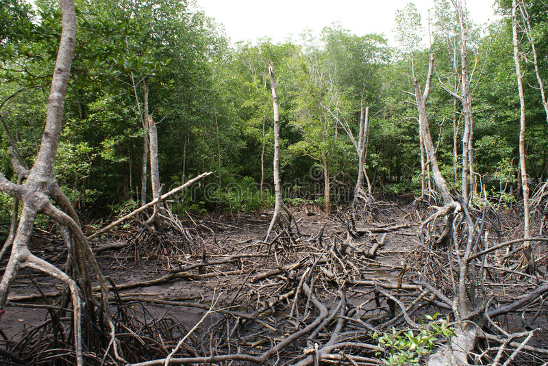 mangrovesswampvåtmark fotografering för bildbyråer