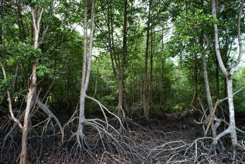 mangrovesvåtmark royaltyfri bild