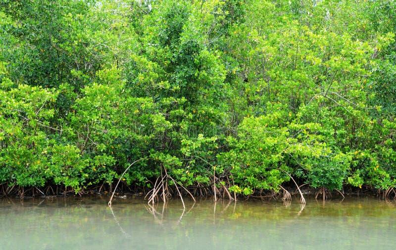 Mangroveträsk i Petit kanal i Guadeloupe arkivbilder