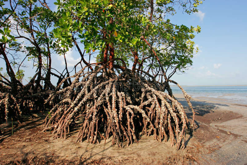 mangrovetree royaltyfria foton