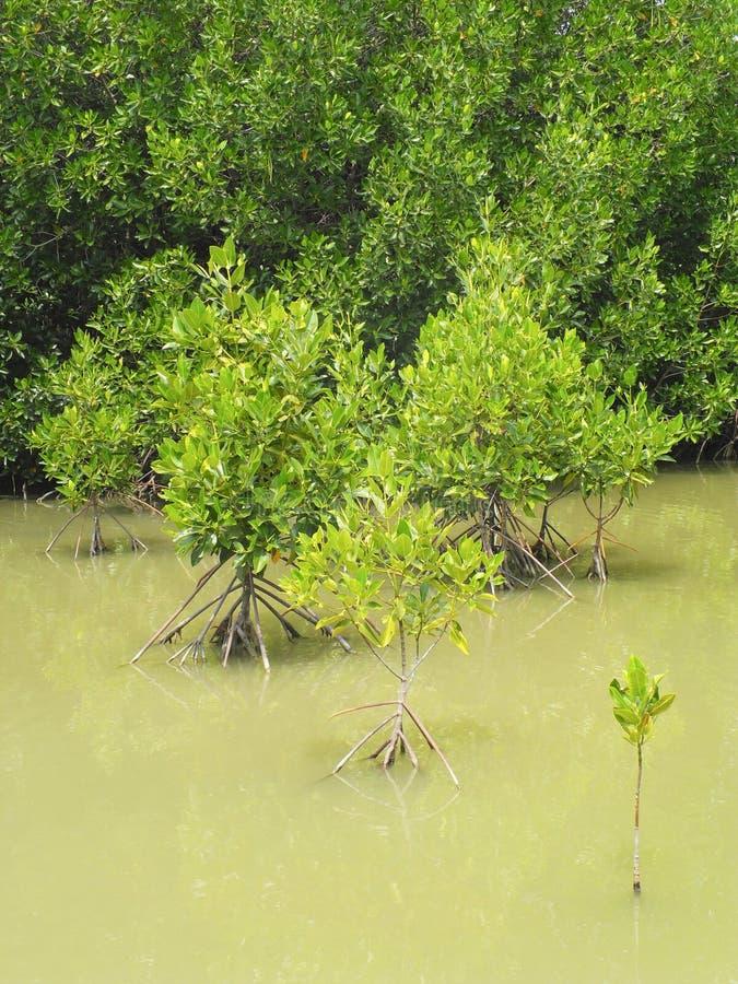 Mangrovewald in Thailand stockfotos
