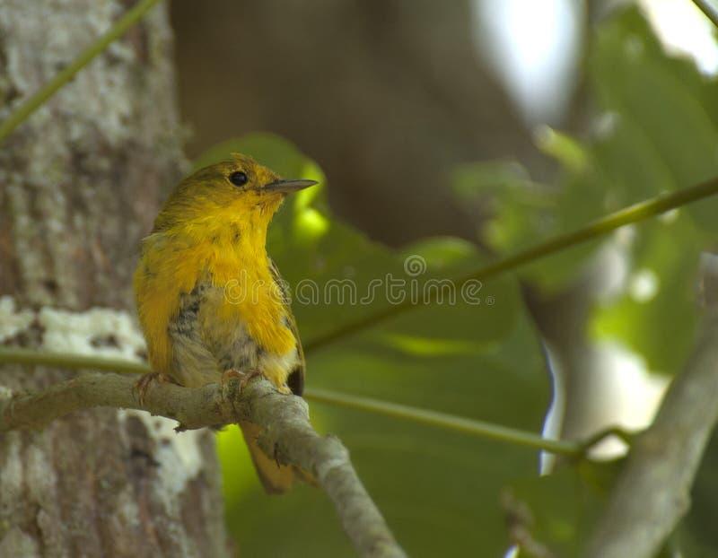 Mangrovezanger, Amerikaanse gele grasmus, Setophaga-petechiassp stock foto