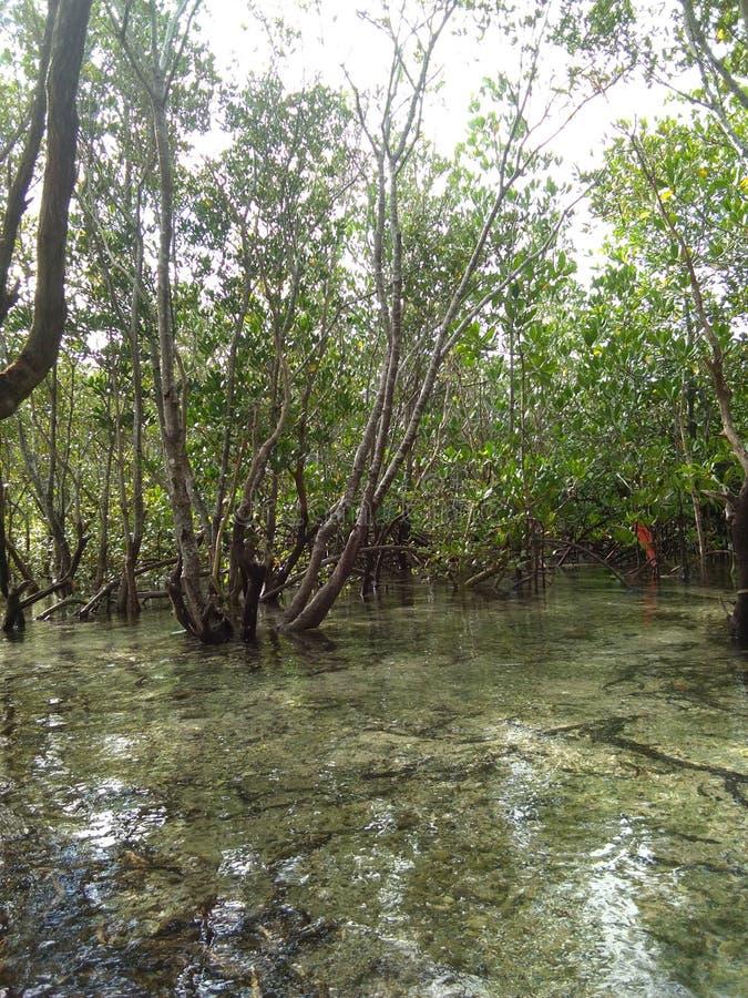 mangrovia immagini stock