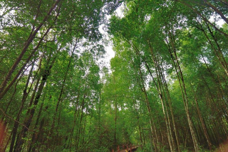 Mangrovia Forest Reserve di Matang immagine stock libera da diritti
