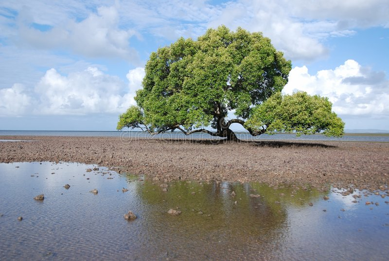 Mangrovia maestosa fotografia stock