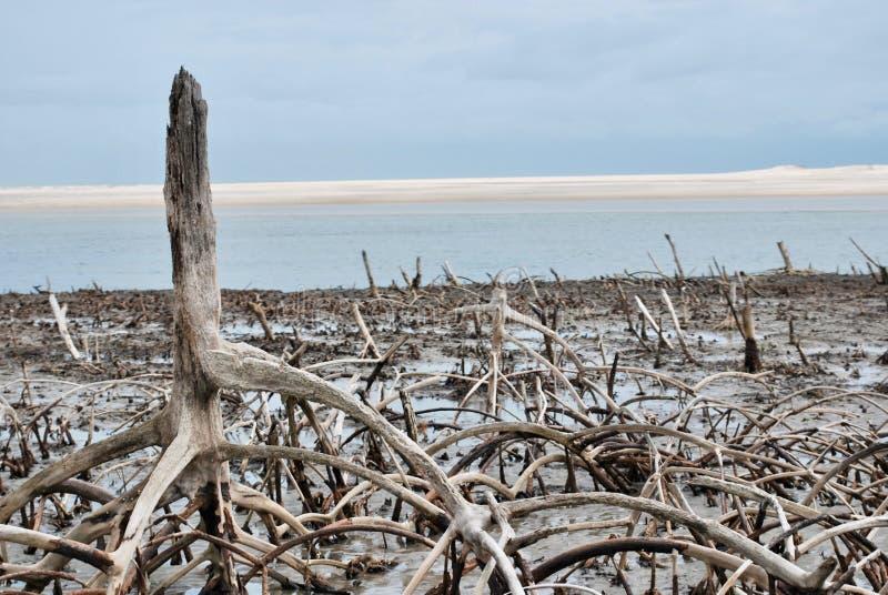 Mangrovia sulla spiaggia Ancora vita 1 immagine stock