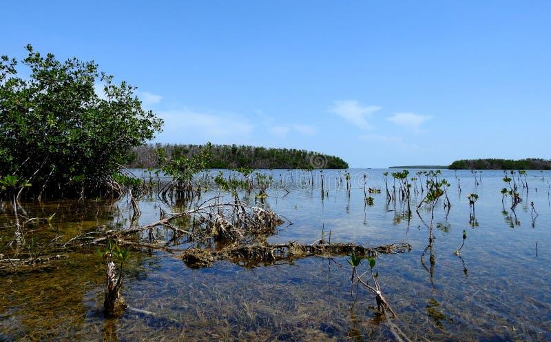 Mangrovie del bambino nelle chiavi di Florida immagine stock libera da diritti