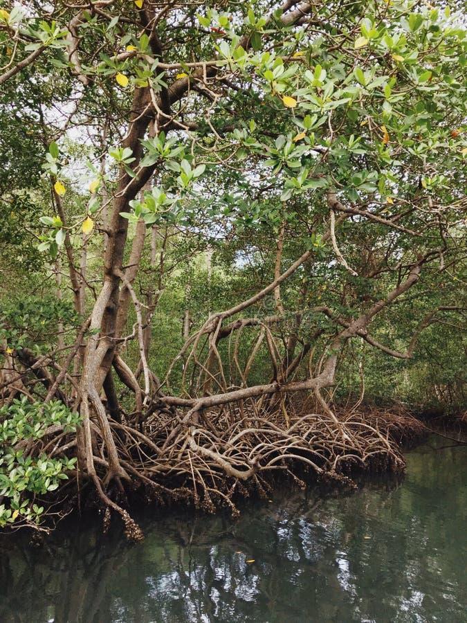 Mangrovie nel Parque Nacional Los Haitises immagini stock