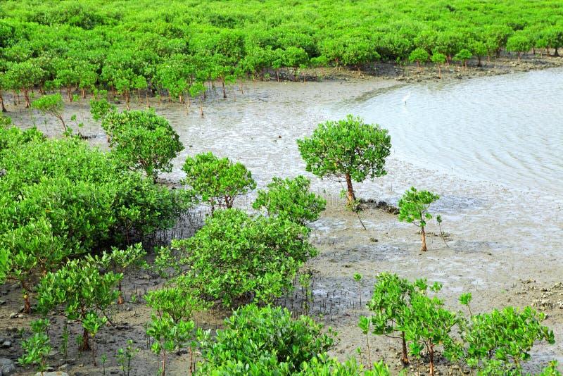 Mangrovie rosse fotografia stock libera da diritti