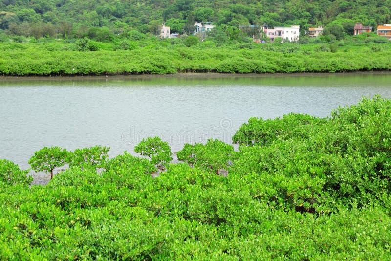 Mangrovie rosse fotografie stock libere da diritti