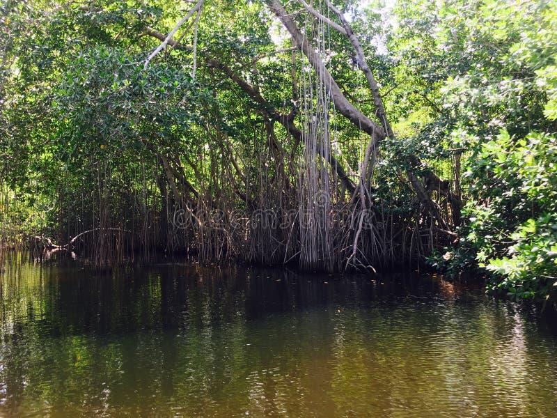 Mangrovie rosse della Giamaica immagini stock libere da diritti