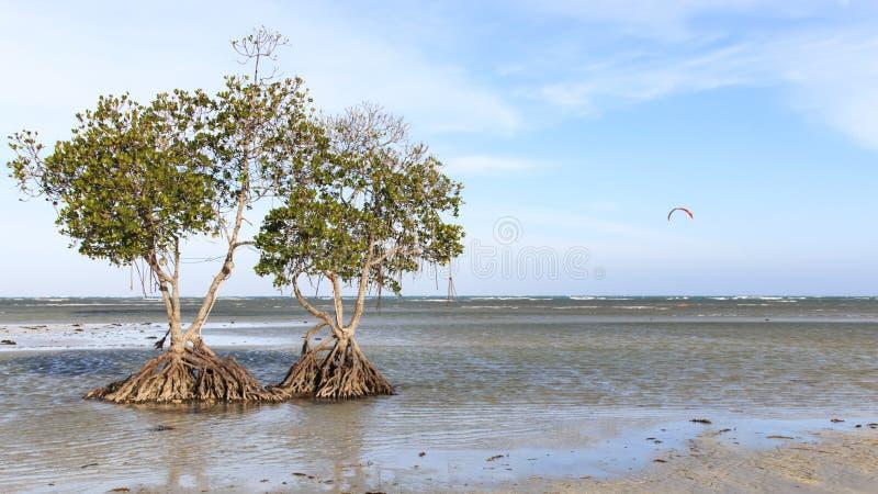 Mangrovie su una spiaggia di Puerto Princesa, Palawan nelle Filippine immagini stock libere da diritti