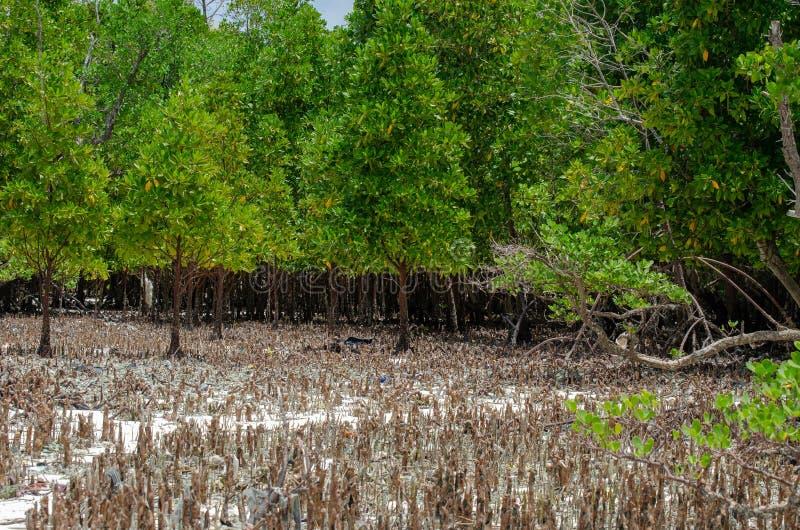 Mangrowe kłącza Zanzibar, Tanzania, Luty 2019 obraz royalty free