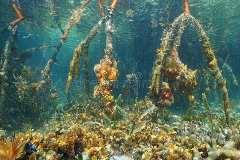 Mangrowe korzenie pod wodą w morzu karaibskim fotografia stock