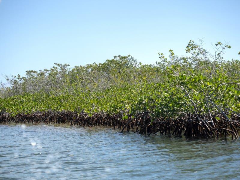 Mangrowe, morze karaibskie, Belize zdjęcia royalty free