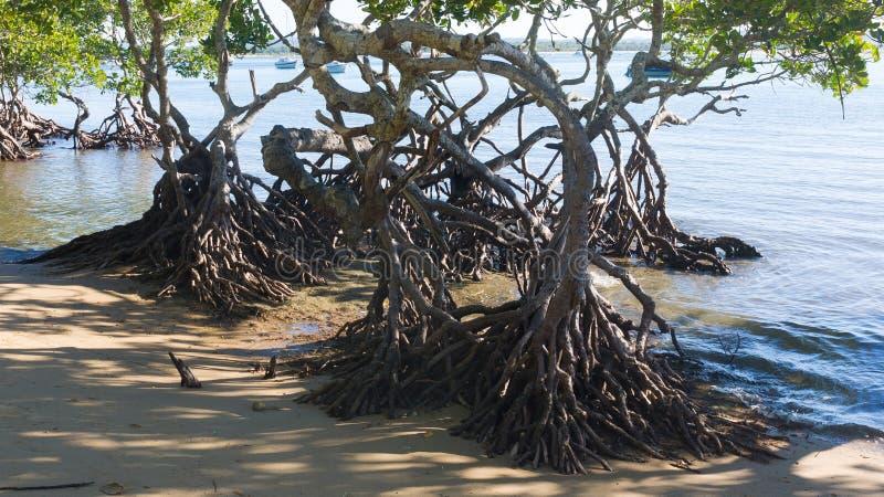 Mangrowe na plaży zdjęcia royalty free