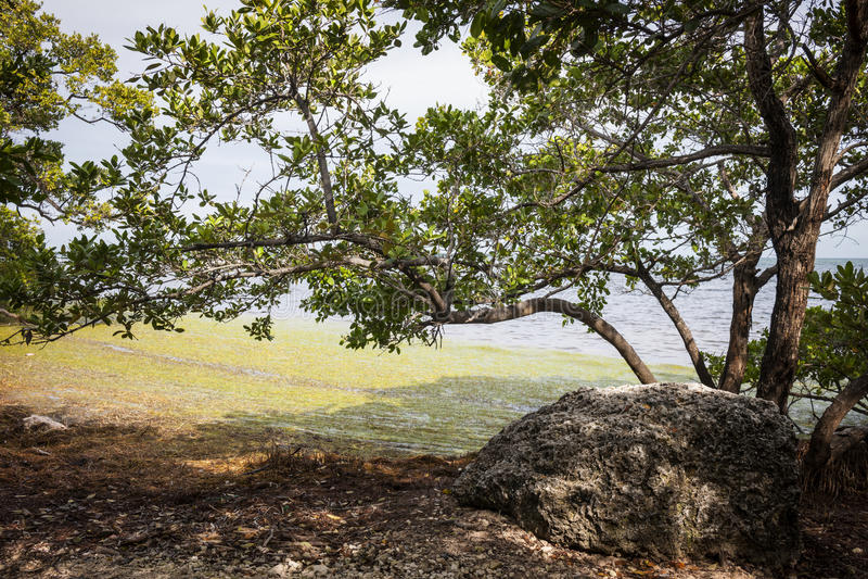 Mangrowe reforest zdjęcie royalty free