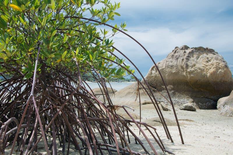 Mangrowe träd royaltyfri foto