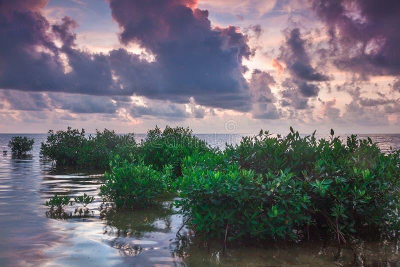 Mangrowe w Caye doszczelniaczu obrazy royalty free