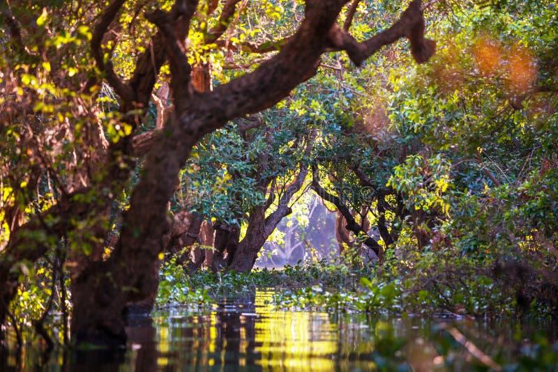 Mangrowe w Kambodża zdjęcia royalty free