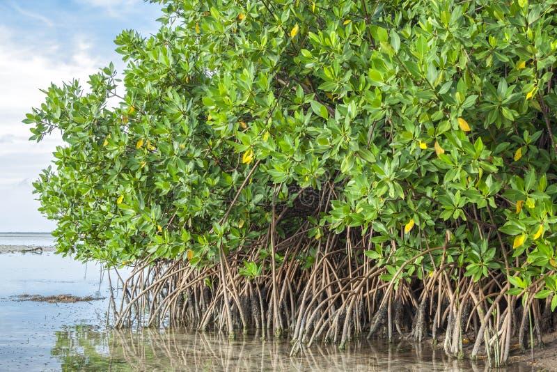 Mangrowe w lagunie fotografia stock
