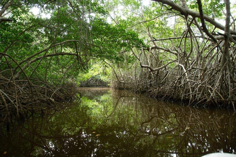 Mangrowe w Progreso obraz royalty free