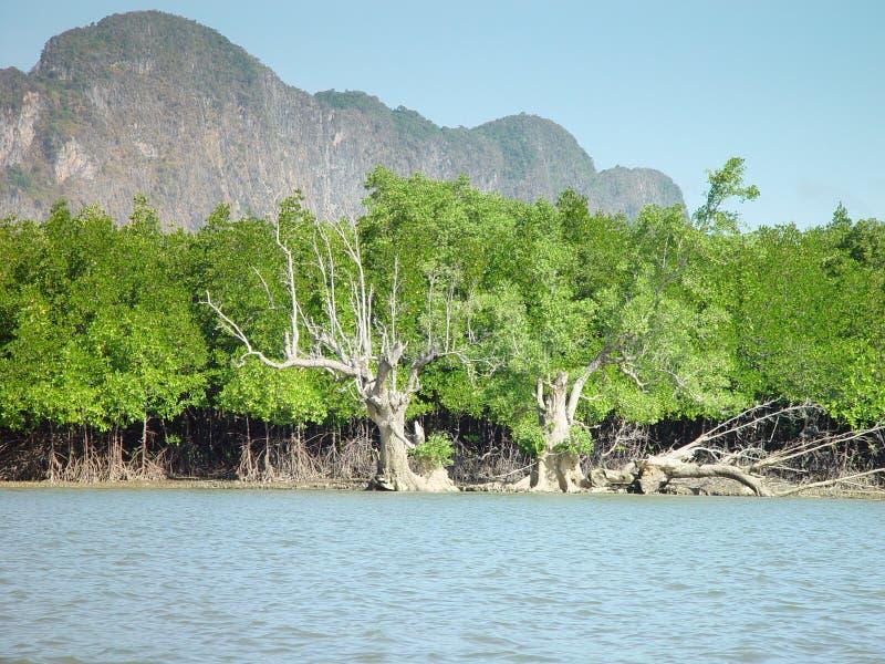 Mangrowe w Tajlandia zdjęcia stock