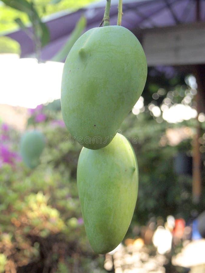 Mangue accrochant sur l'arbre photo stock