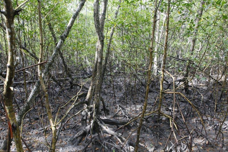 Mangue, tropikalny ekosystem obraz stock