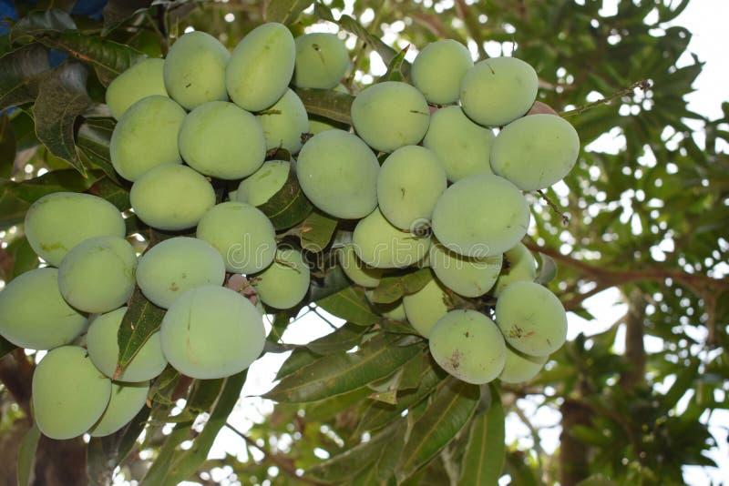 Mangues de paquet Vert unrippen couleur non mûrie originale de mangue photographie stock libre de droits