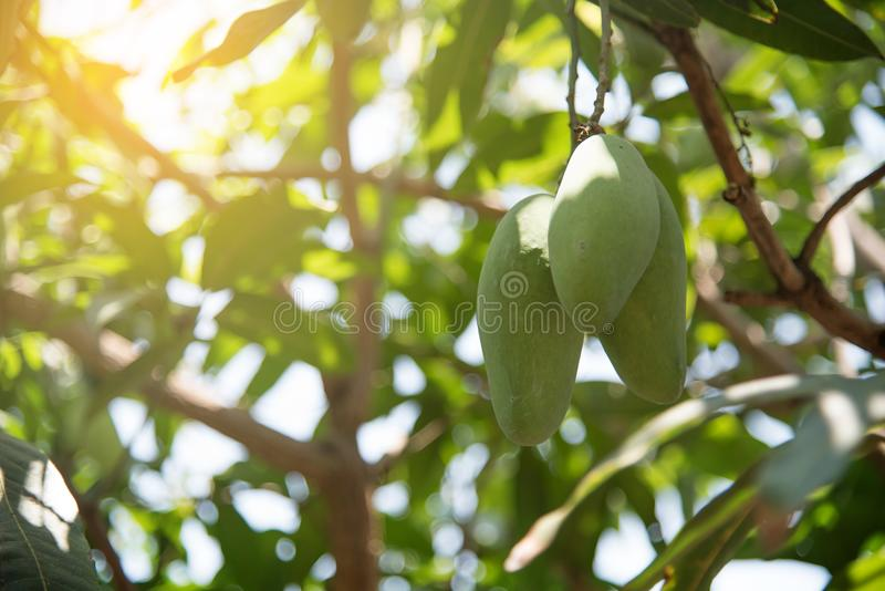 Mangues sur le manguier images stock