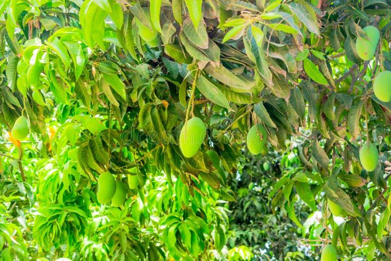 Mangues vertes accrochant sur un manguier photographie stock libre de droits