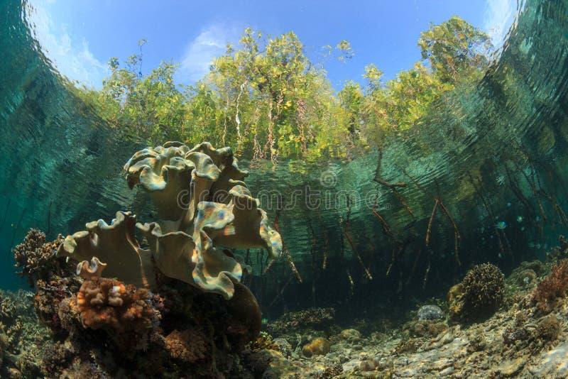 Manguezais e o recife, ampat de Raja, Indonésia imagens de stock royalty free