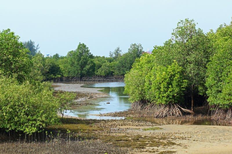 Manguezais Mudflats do Rhizophora fotografia de stock royalty free
