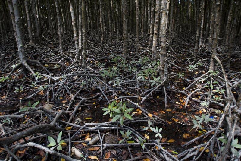 Manguezais na ilha do macaco do ` s do Gio da lata, Vietname sul fotografia de stock royalty free