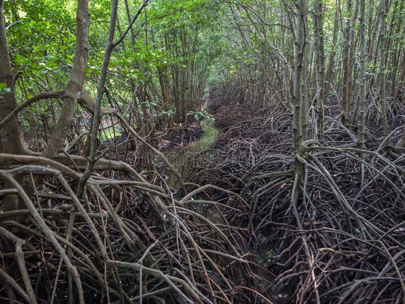 Manguezais, a raiz dos manguezais imagens de stock royalty free