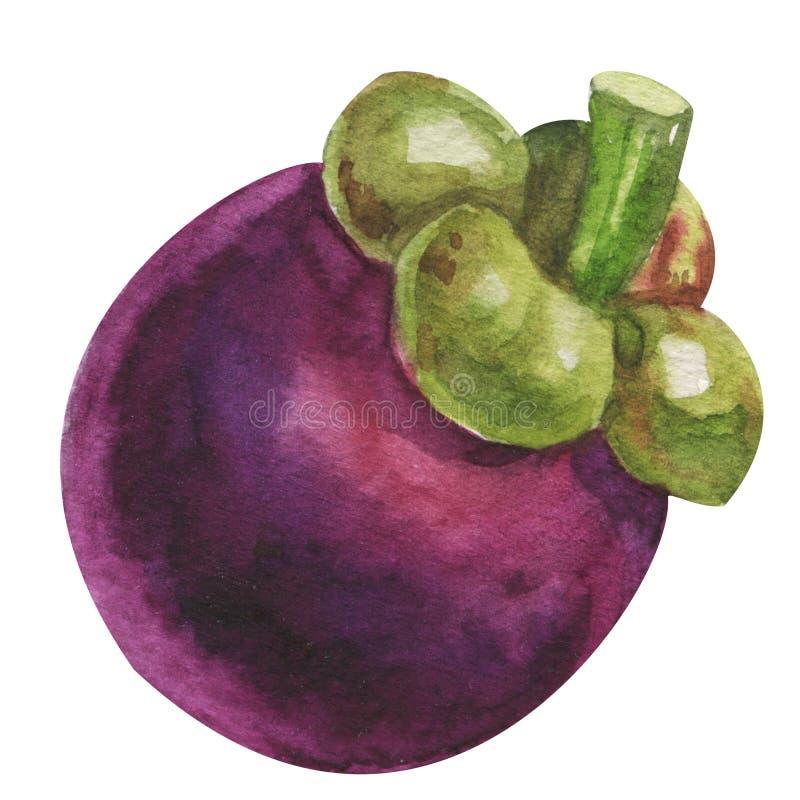 Mangustão da aquarela tropical Isolou o fruto exótico fresco do mangustão no fundo branco Alimento art?stico pintado ? m?o ilustração stock