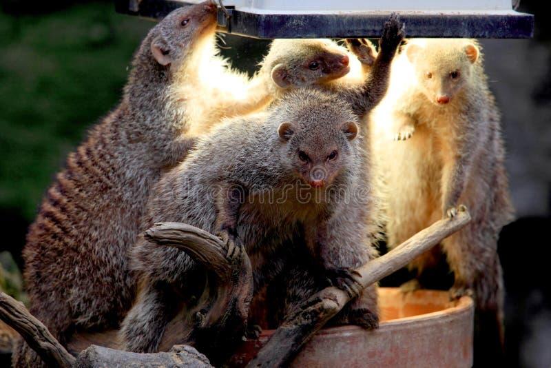 mangusta zdjęcie royalty free