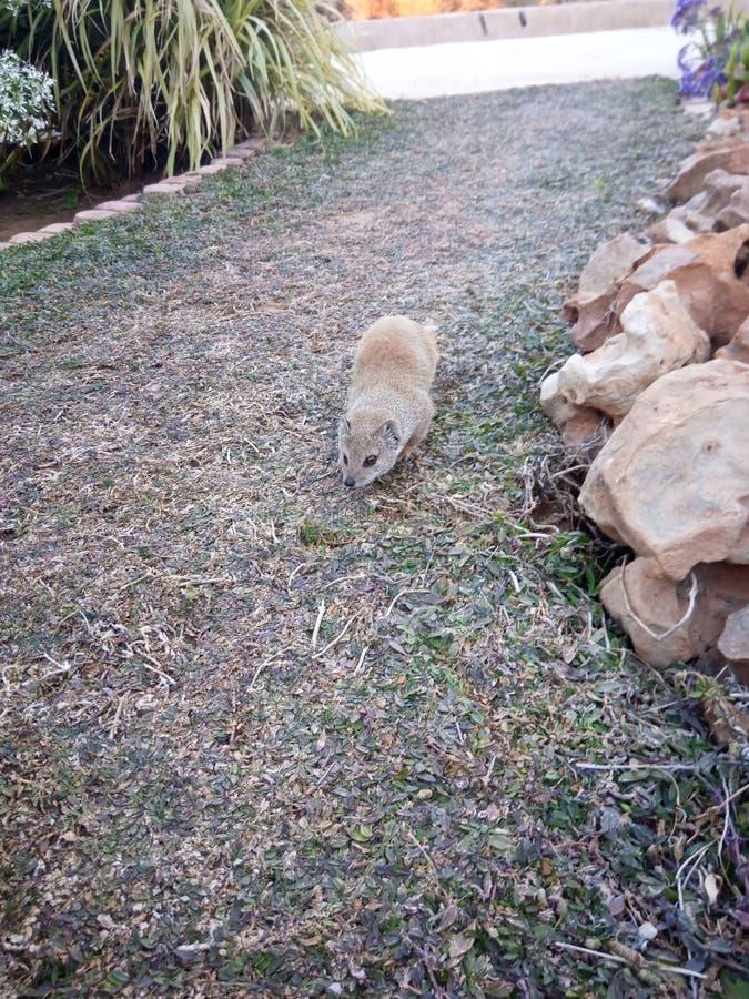 Mangusta na trawie obraz stock