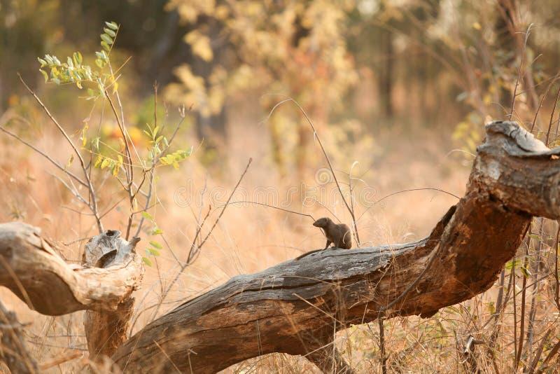 Mangusto africano em um coto de árvore em um sul - reserva africana do jogo imagens de stock