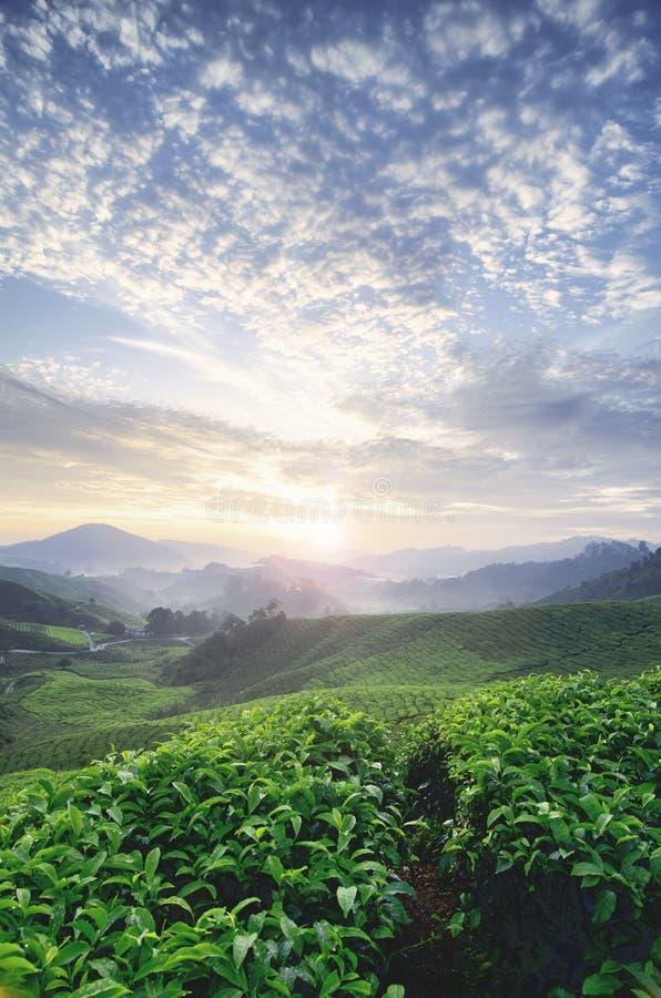 Manhã bonita durante o nascer do sol na exploração agrícola do chá árvore do chá verde camada impressionante do monte e das nuven imagens de stock