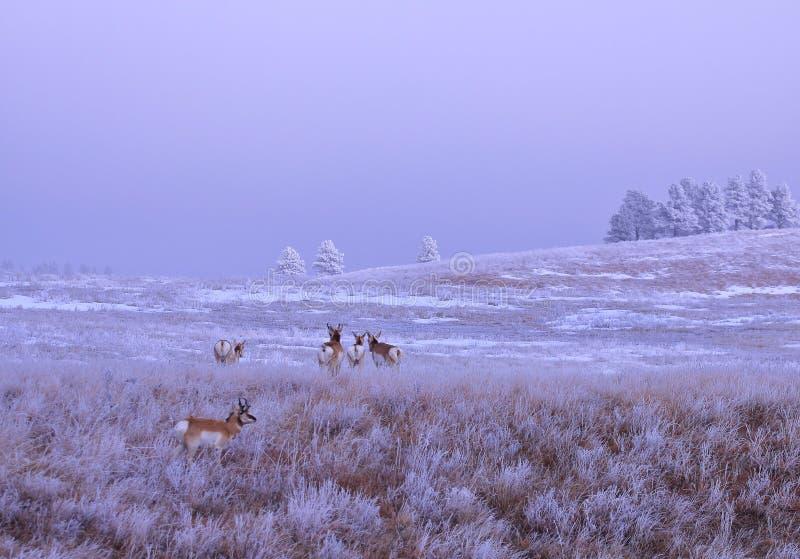 Manhã congelada dos animais foto de stock
