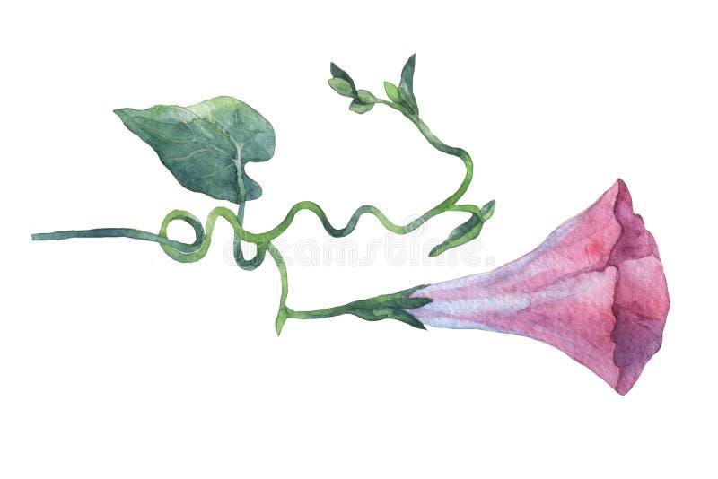 Manhã cor-de-rosa Glory Field Bindweed, arvensis& x29 do convólvulo; flores ilustração royalty free