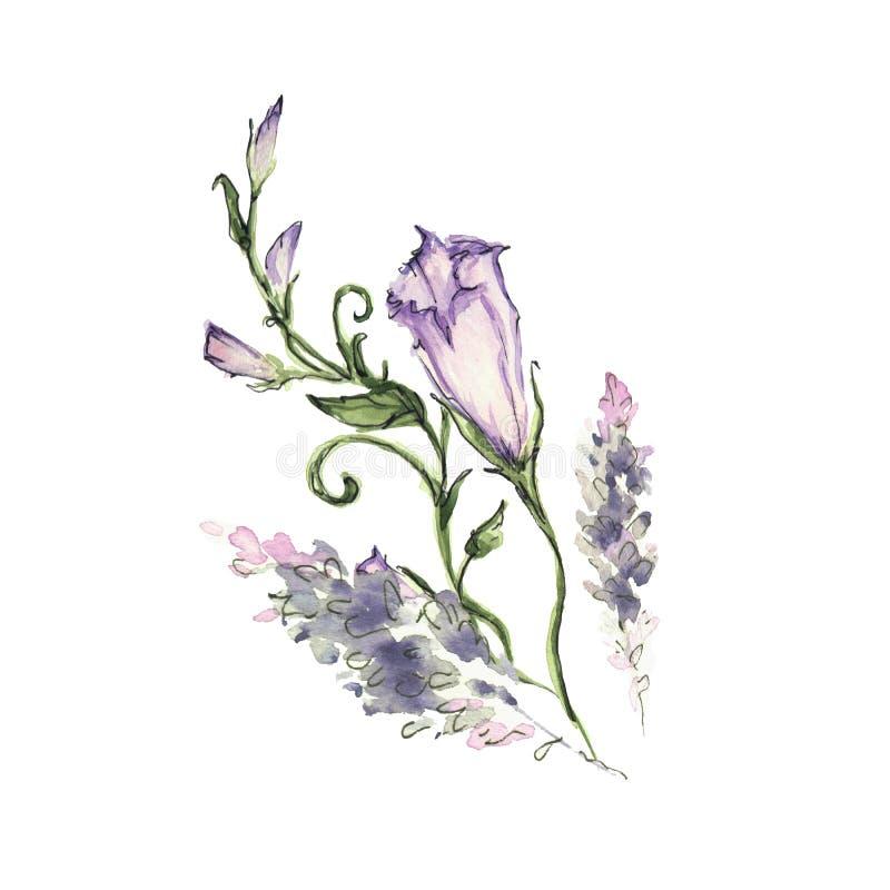 Manhã cor-de-rosa Glory Field Bindweed, flores do arvensis do convólvulo ilustração royalty free