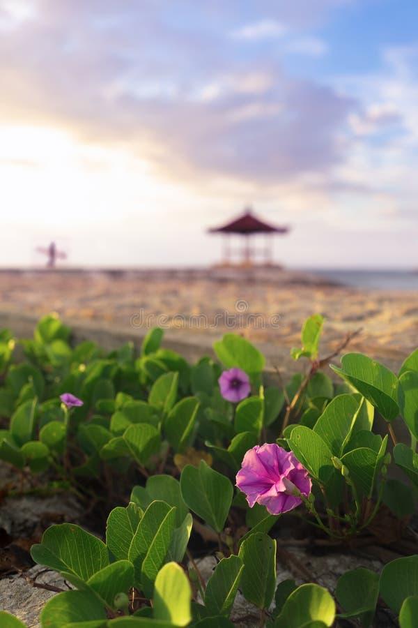 Manhã cor-de-rosa Glory Flower Blossom Near Seashore da praia durante o verão foto de stock